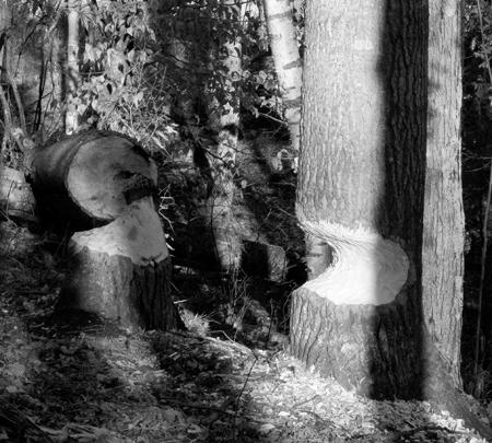 beaver-activity_bw.jpg
