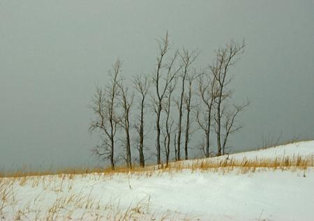 stand_of_cottonwoods.jpg