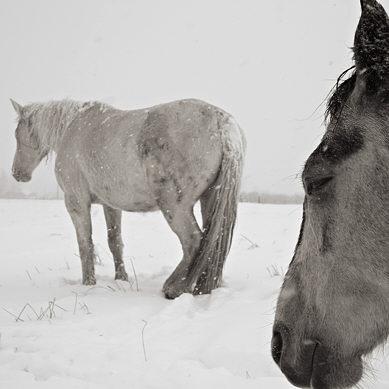 12169b-cg_horses_snow.jpg