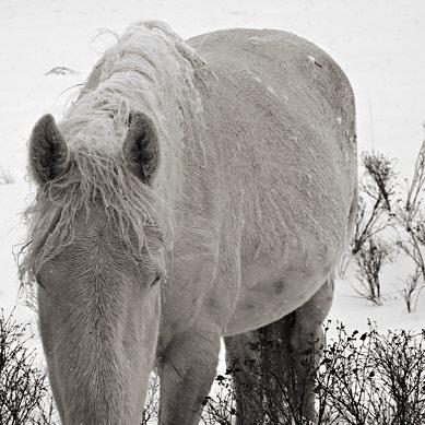 12178c-cg_horses_snow.jpg